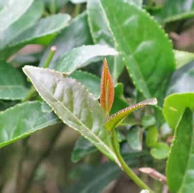 Korean Tea Bud