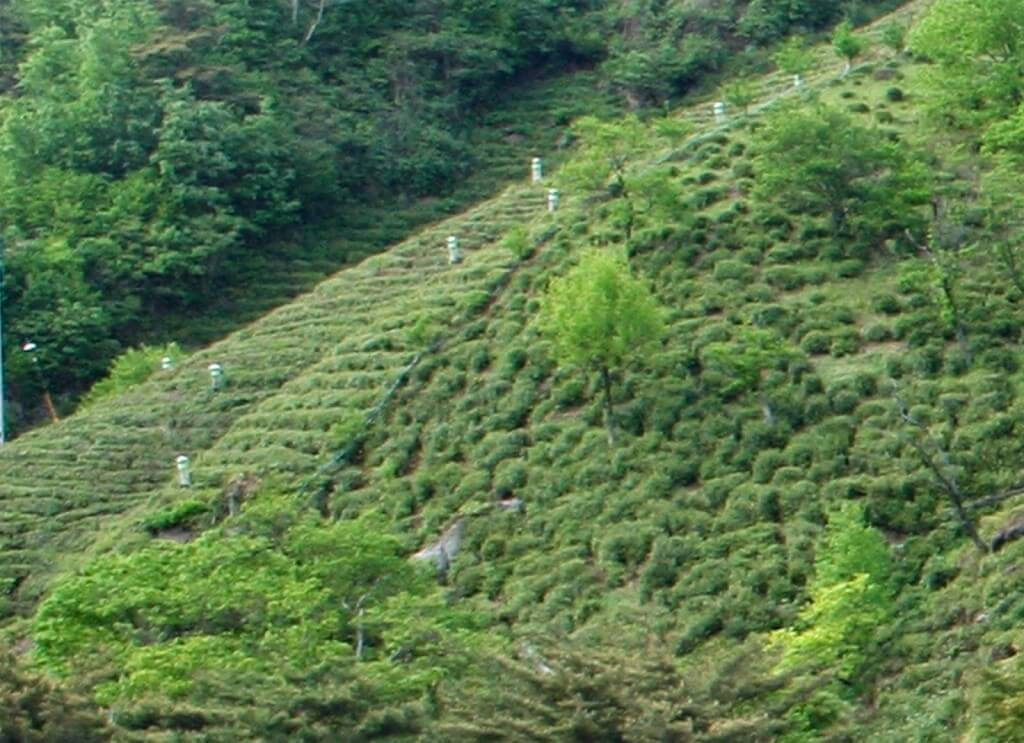 wild and semi wilde tea bushes