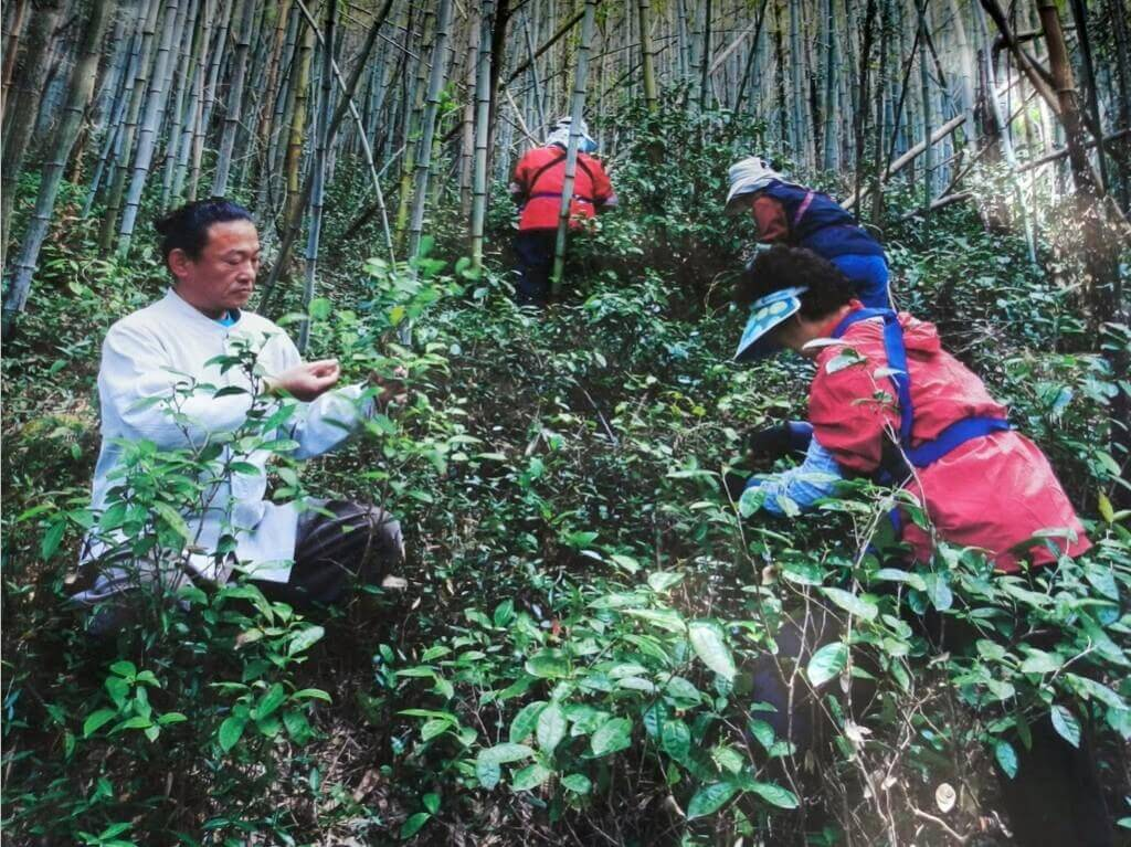 Ha Gu picking wild tea